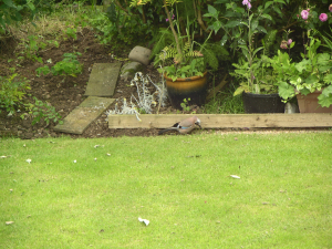 Jay feeding in garden