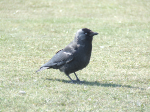 South Downs Jackdaw