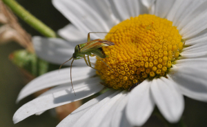 Bug on Ox eye daisy