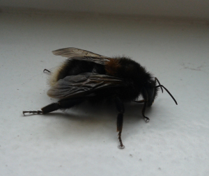 bumblebee down chimney