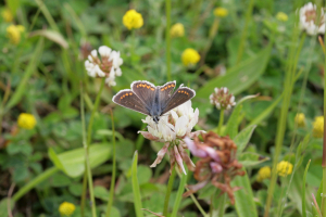 Female Common Blue or Brown Argus?