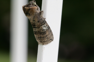 Figure of eighty moth?