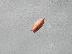 Small brown tortrix? moth