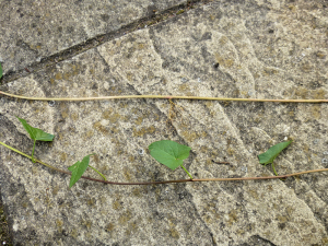 What bindweed/bryony ?