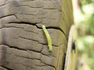 Small green caterpillar