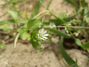Chickweed?