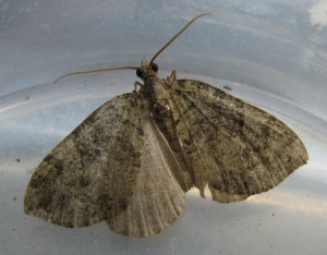 pale brown moth