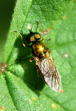 Chloromyia formosa male