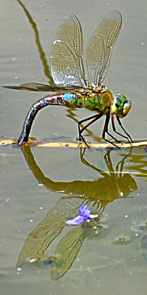 Unknown dragon fly July 18