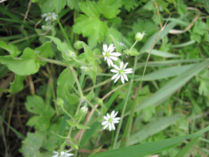 Stitchwort on Marston Marshes