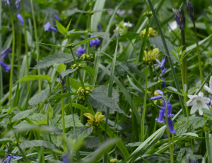 Yellow archangel growing amongst bluebells in Abbey Wood