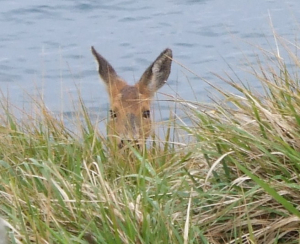 Deer on SW coastal path in Dorset