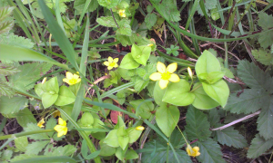 Yellow Pimpernel in Foxley Wood