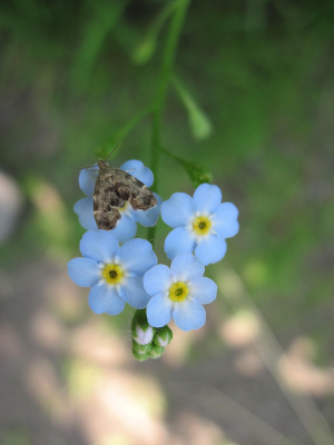 Moth on Forget-me-not