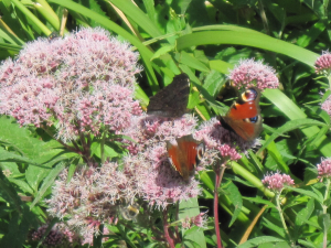 Peacock butterflies on Hemp-Agrimony