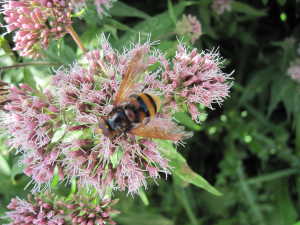 Hoverfly on Hemp-Agrimony