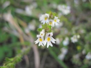 Eyebright at Wenlock Edge