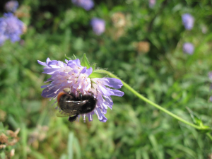 Bee visiting Field Scabious