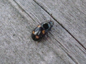 Beetle crawling across table in pub