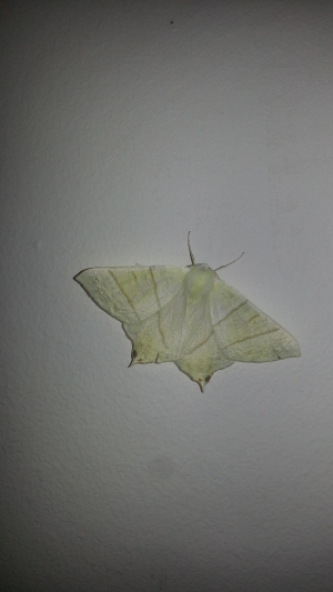 Some type of moth
