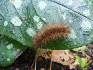 hairy caterpillar