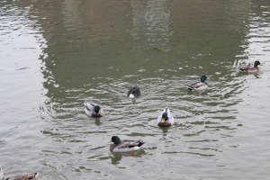 Brown one in the middle with white chest, Mallard variation?