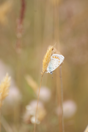 Common blue or brown argus?