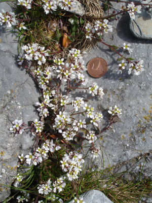 small whitish-pink flowers