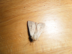 Some kind of Wainscot?