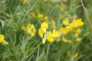 ?yellow vetch