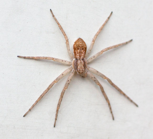 Probable running crab spider (Philodromidae)