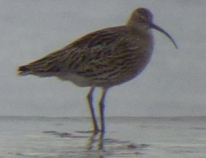 Whimbrel or Curlew