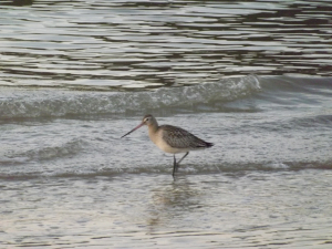 Bar-tailed or black-tailed godwit? Plz