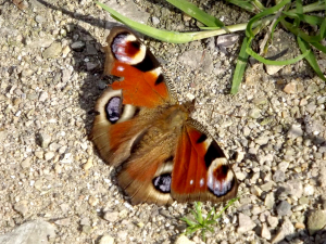 Peacock (Butterfly)
