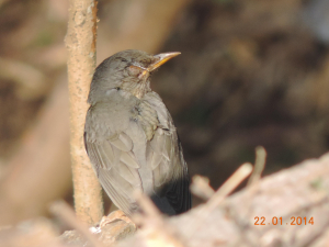 Brown headed Thrush