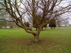 Hornbeam in winter