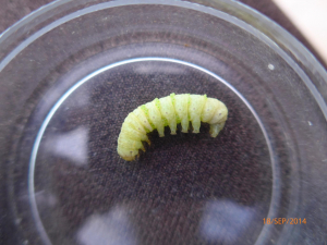Pale caterpillar