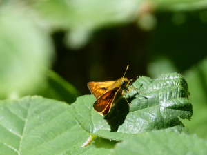 Large Skipper (which skipper)