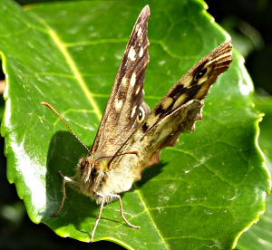 Speckled Wood    Head on