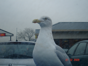 Herring Gull in packed car park Exeter