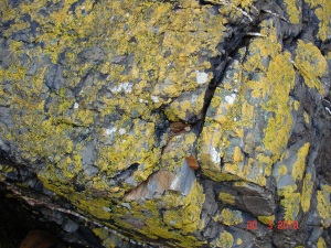 yellow splash lichen