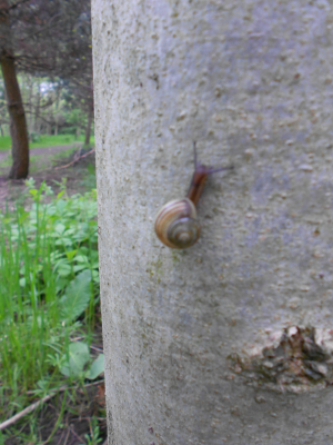 snail thin stripes
