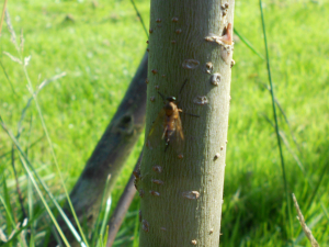 gnat on willow