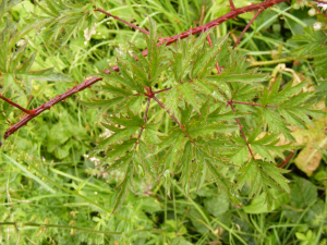Parsley-leaved Bramble