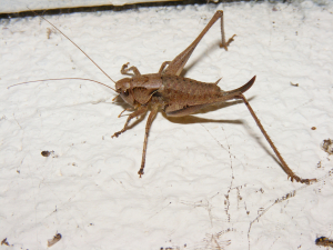 Large Cricket