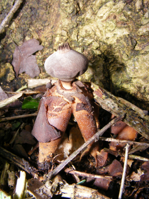 Arched Earthstar