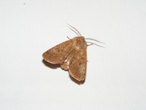 Common Quaker Moth