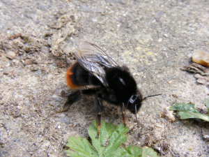 Large Red-tailed Bumblebee