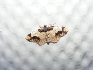 Scorched Carpet Moth