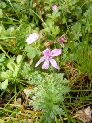 Common Stork's-bill?